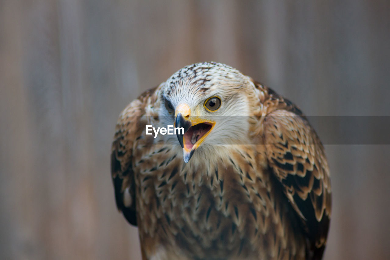 animal themes, animal, one animal, bird, vertebrate, animals in the wild, animal wildlife, bird of prey, focus on foreground, close-up, day, no people, mouth open, nature, mouth, beak, outdoors, portrait, animal body part, looking at camera, animal head, falcon - bird, animal eye, eagle