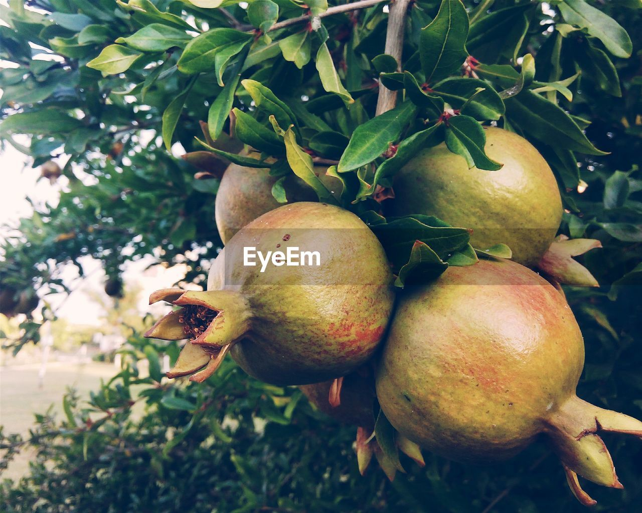 fruit, food and drink, food, healthy eating, freshness, tree, apple - fruit, day, growth, outdoors, leaf, close-up, no people, green color, nature, plant, pomegranate