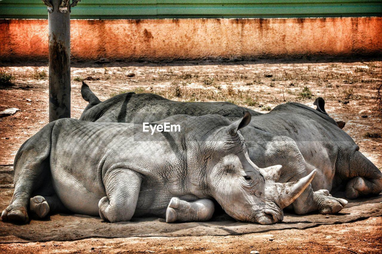Rhinoceros Relaxing On Field At Zoo