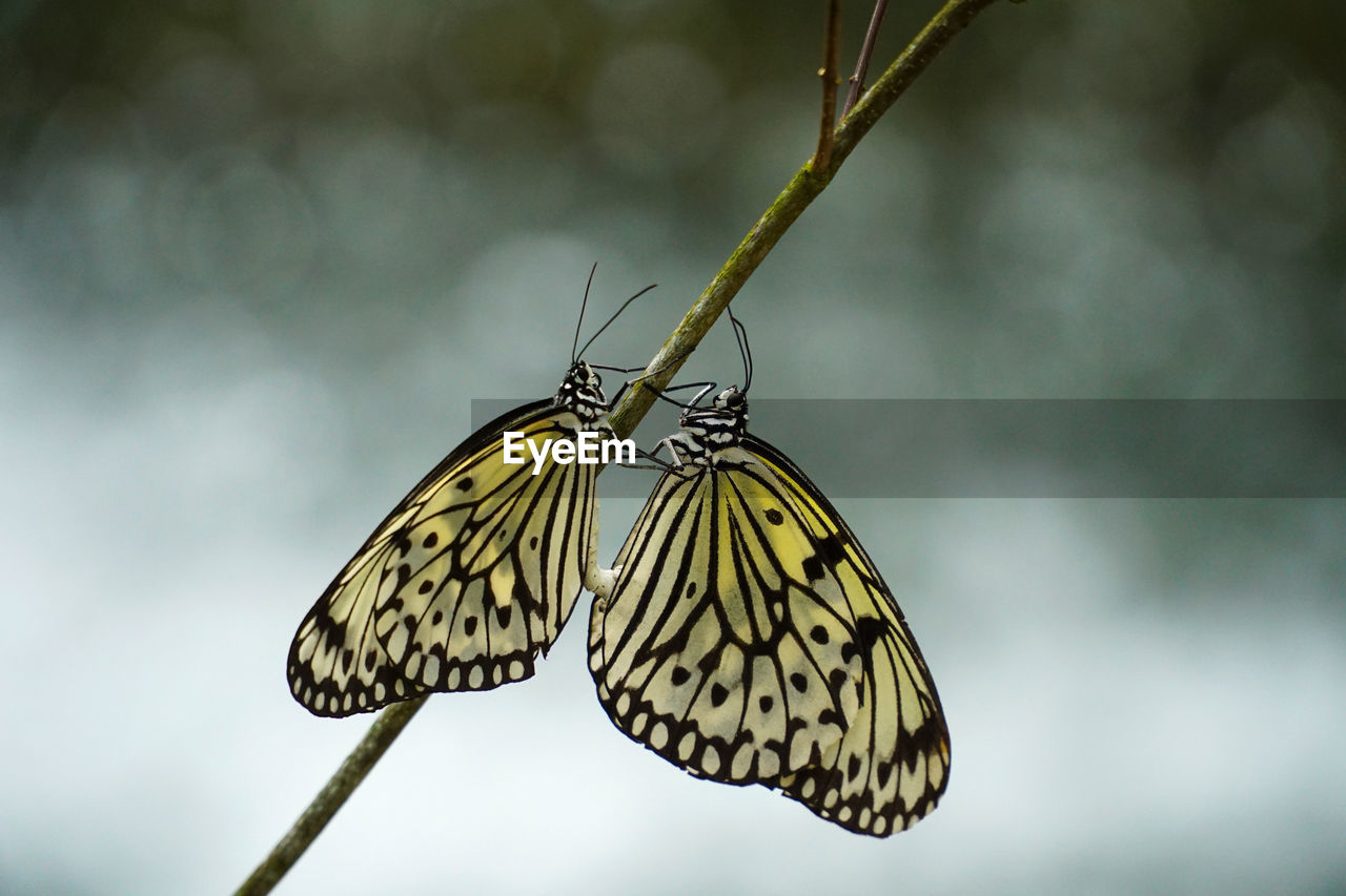 insect, animal wing, invertebrate, animals in the wild, animal themes, butterfly - insect, one animal, animal, beauty in nature, animal wildlife, close-up, focus on foreground, nature, plant, day, no people, flower, outdoors, animal body part, zoology, butterfly, pollination