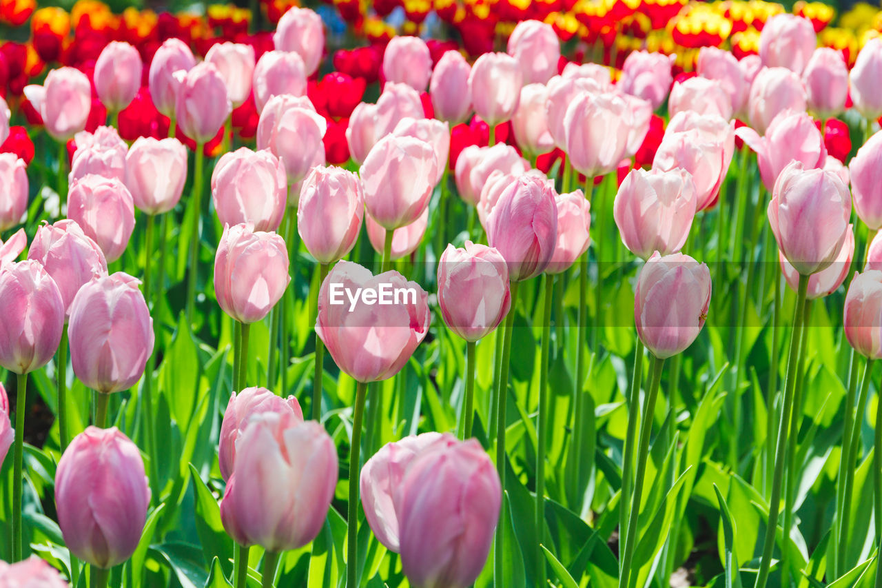 flower, flowering plant, plant, beauty in nature, freshness, fragility, vulnerability, tulip, petal, pink color, growth, close-up, flower head, field, inflorescence, land, nature, no people, full frame, backgrounds, outdoors, springtime, flowerbed, gardening, softness, spring