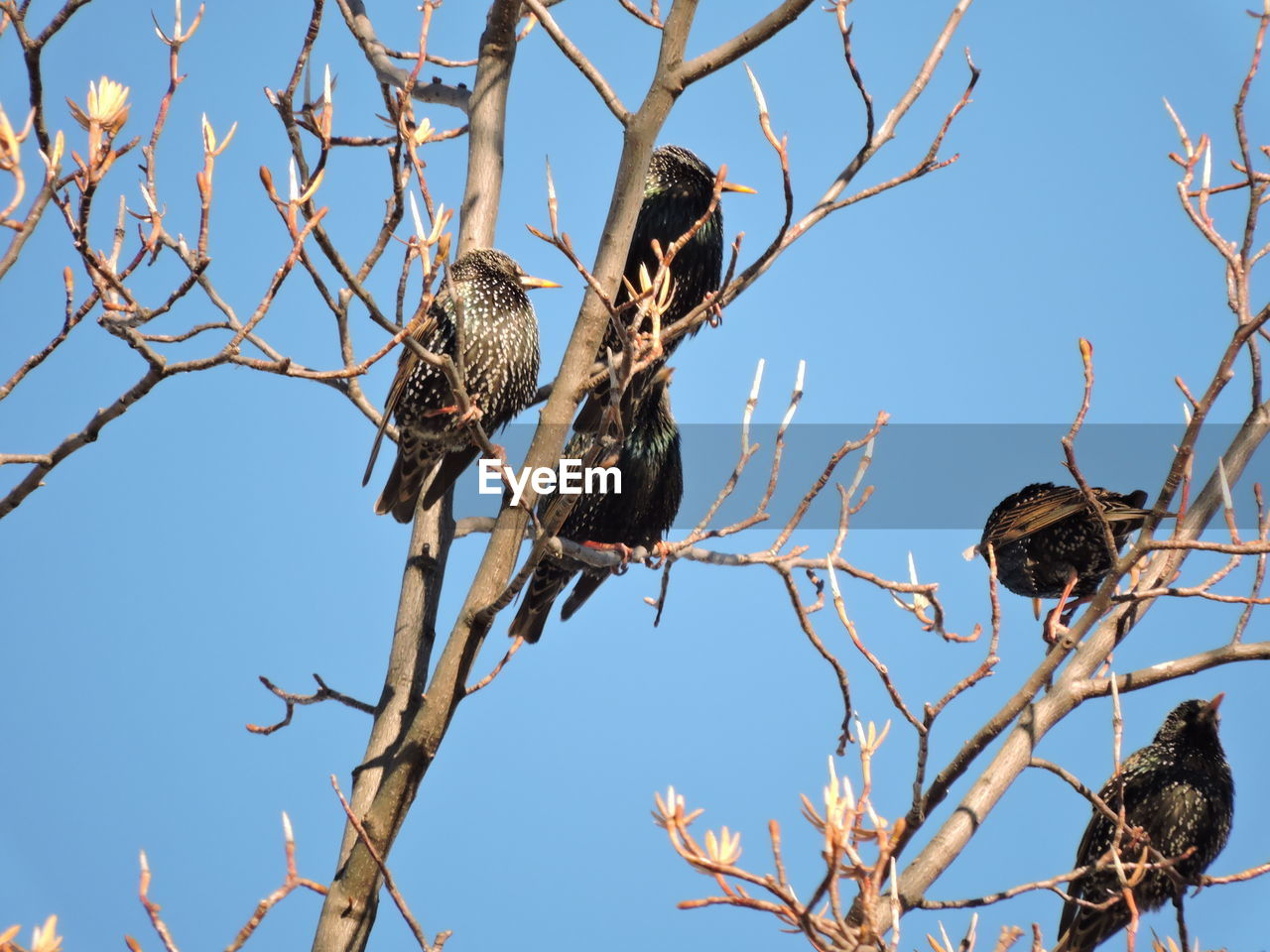bird, vertebrate, animal wildlife, animal, animal themes, animals in the wild, tree, group of animals, low angle view, sky, branch, perching, plant, nature, no people, day, clear sky, starling, two animals, bare tree, outdoors, animal family