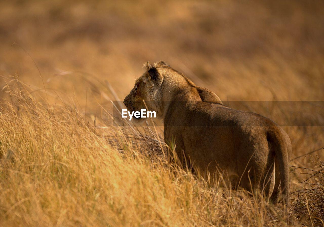 Rear View Of Lioness Walking On Field