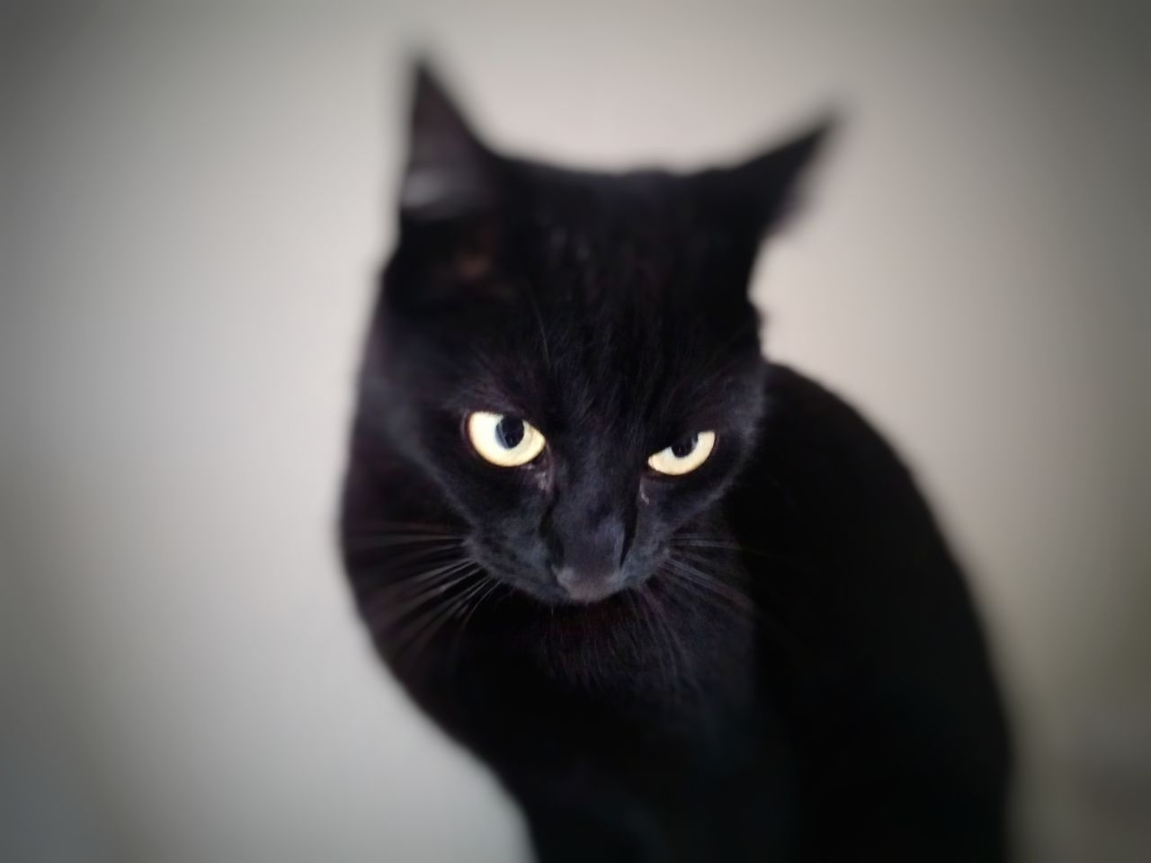 domestic cat, feline, mammal, portrait, pets, domestic animals, no people