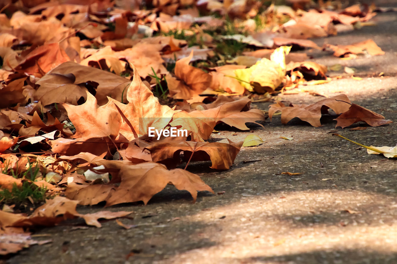 change, autumn, plant part, leaf, leaves, selective focus, dry, close-up, maple leaf, nature, no people, vulnerability, fragility, day, falling, field, orange color, beauty in nature, land, sunlight, outdoors, natural condition, surface level, fall, autumn collection, dried