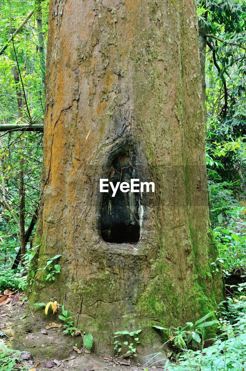 Hollow On Tree In Forest