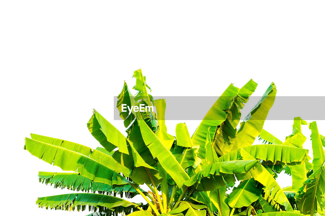 leaf, green color, plant part, white background, studio shot, nature, copy space, no people, growth, close-up, plant, indoors, cut out, sky, leaves, beauty in nature, freshness, day, green