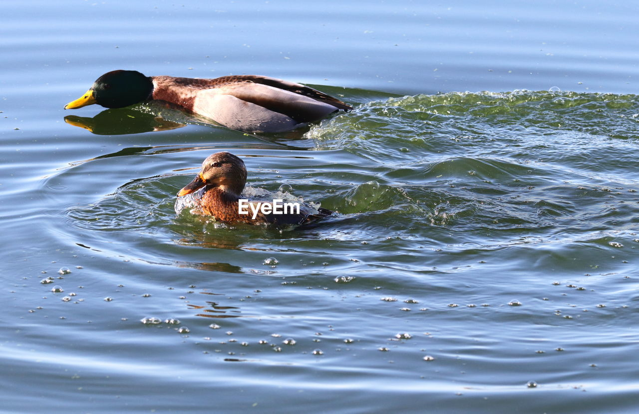 water, animal, swimming, animal themes, vertebrate, waterfront, animal wildlife, bird, day, group of animals, animals in the wild, nature, no people, beauty in nature, lake, young bird, young animal, poultry, animal family
