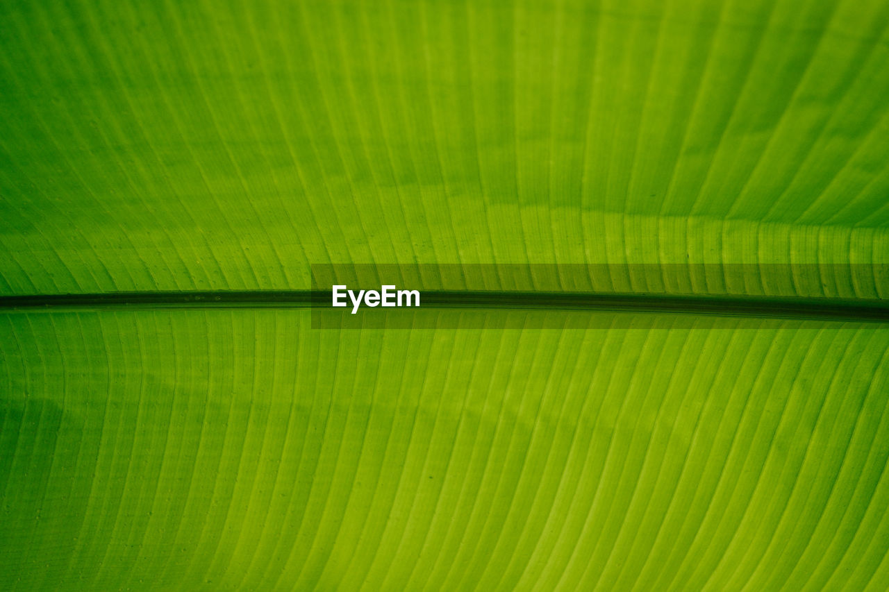 green color, full frame, backgrounds, leaf, pattern, plant part, natural pattern, no people, palm leaf, close-up, palm tree, extreme close-up, leaf vein, textured, nature, beauty in nature, macro, banana leaf, plant, frond, abstract, leaves, abstract backgrounds, textured effect, brightly lit