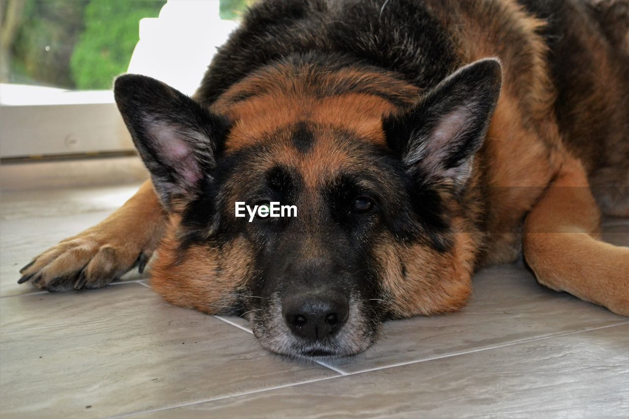 one animal, canine, dog, animal themes, pets, animal, domestic, mammal, portrait, looking at camera, domestic animals, relaxation, flooring, lying down, vertebrate, close-up, focus on foreground, indoors, german shepherd, no people, animal head