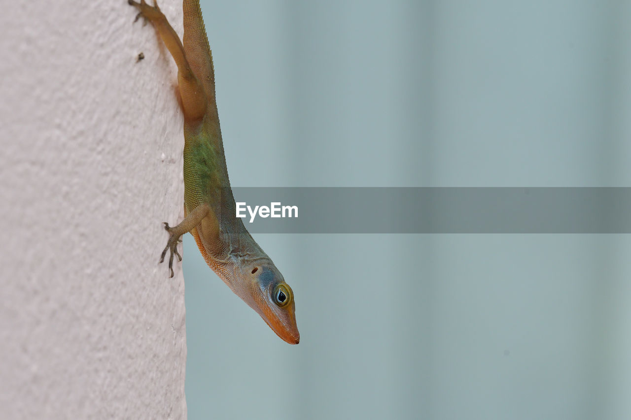 animal wildlife, animal themes, animals in the wild, one animal, animal, vertebrate, reptile, close-up, lizard, wall - building feature, day, no people, focus on foreground, nature, gecko, selective focus, outdoors, zoology, copy space, side view