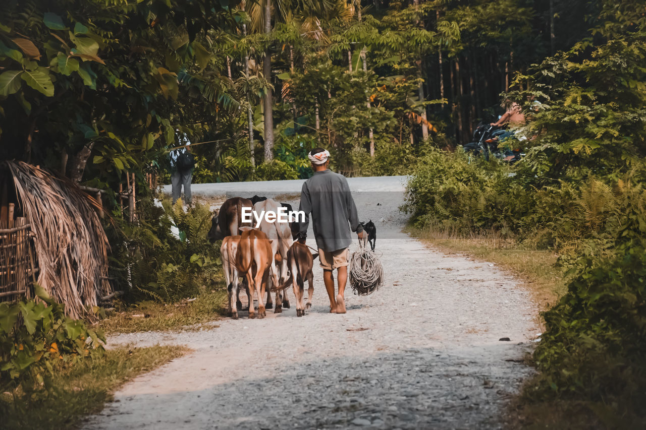 Rear view of young man with cows walking on road