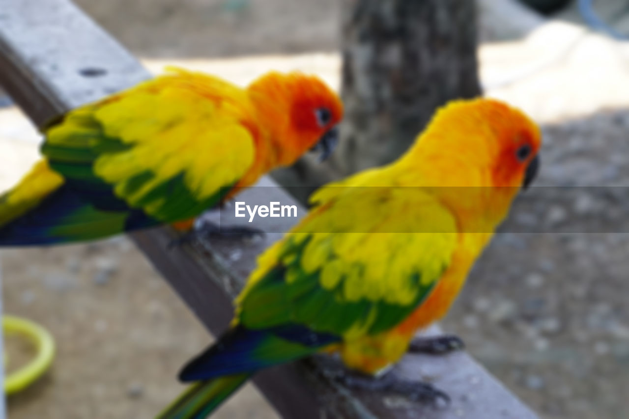 bird, animal themes, vertebrate, animal, group of animals, parrot, two animals, animal wildlife, animals in the wild, perching, no people, day, yellow, multi colored, close-up, focus on foreground, parakeet, outdoors, rainbow lorikeet