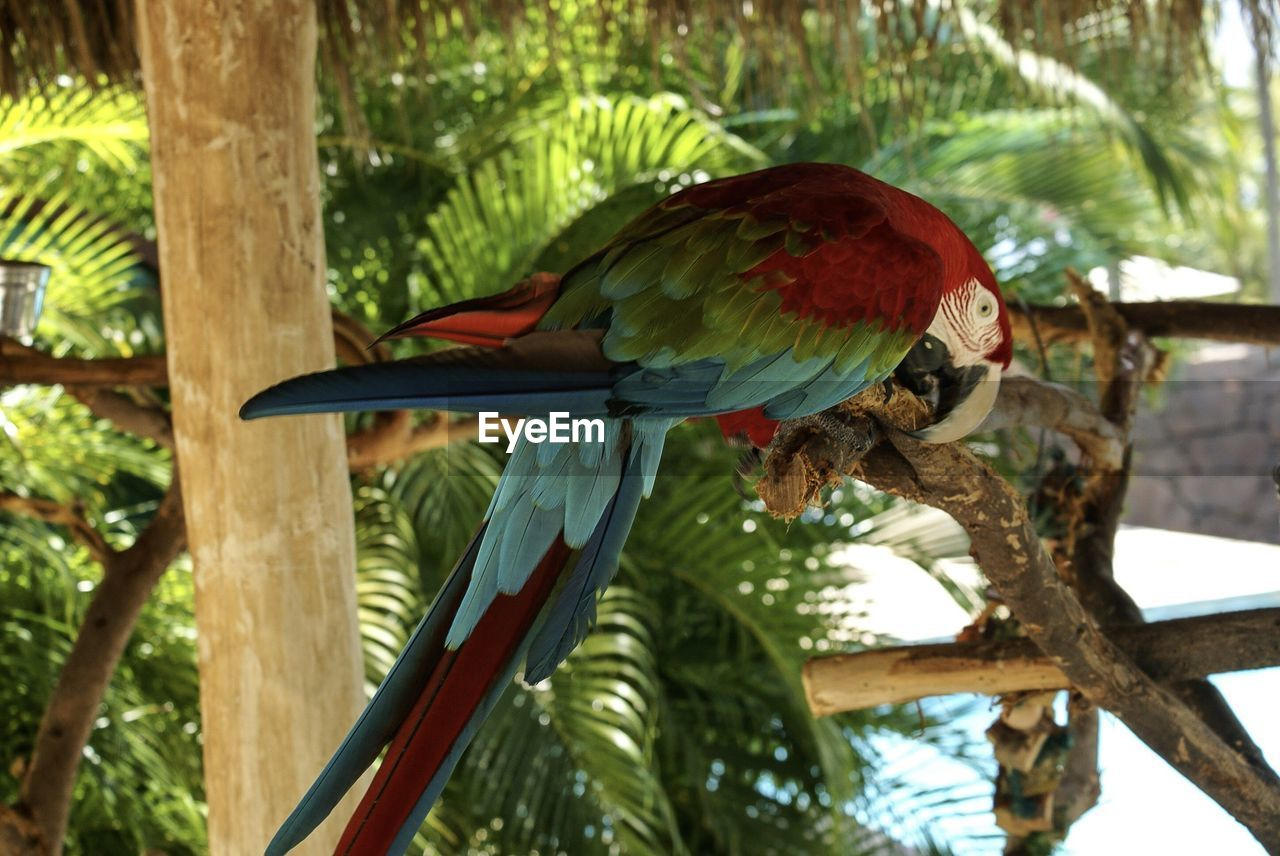 vertebrate, bird, animal themes, animal, animal wildlife, tree, animals in the wild, one animal, perching, plant, parrot, branch, no people, focus on foreground, day, nature, low angle view, macaw, close-up, scarlet macaw, palm leaf