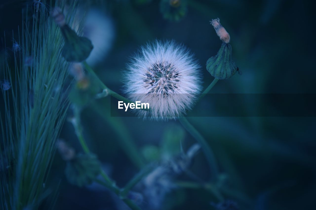 flower, plant, flowering plant, growth, fragility, freshness, vulnerability, beauty in nature, dandelion, close-up, nature, selective focus, no people, flower head, inflorescence, focus on foreground, day, dandelion seed, outdoors, softness