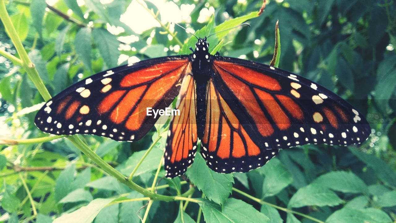 butterfly - insect, insect, animal themes, one animal, animals in the wild, butterfly, no people, animal markings, animal wildlife, close-up, leaf, plant, nature, growth, day, outdoors, full length, beauty in nature, freshness, fragility, flower head