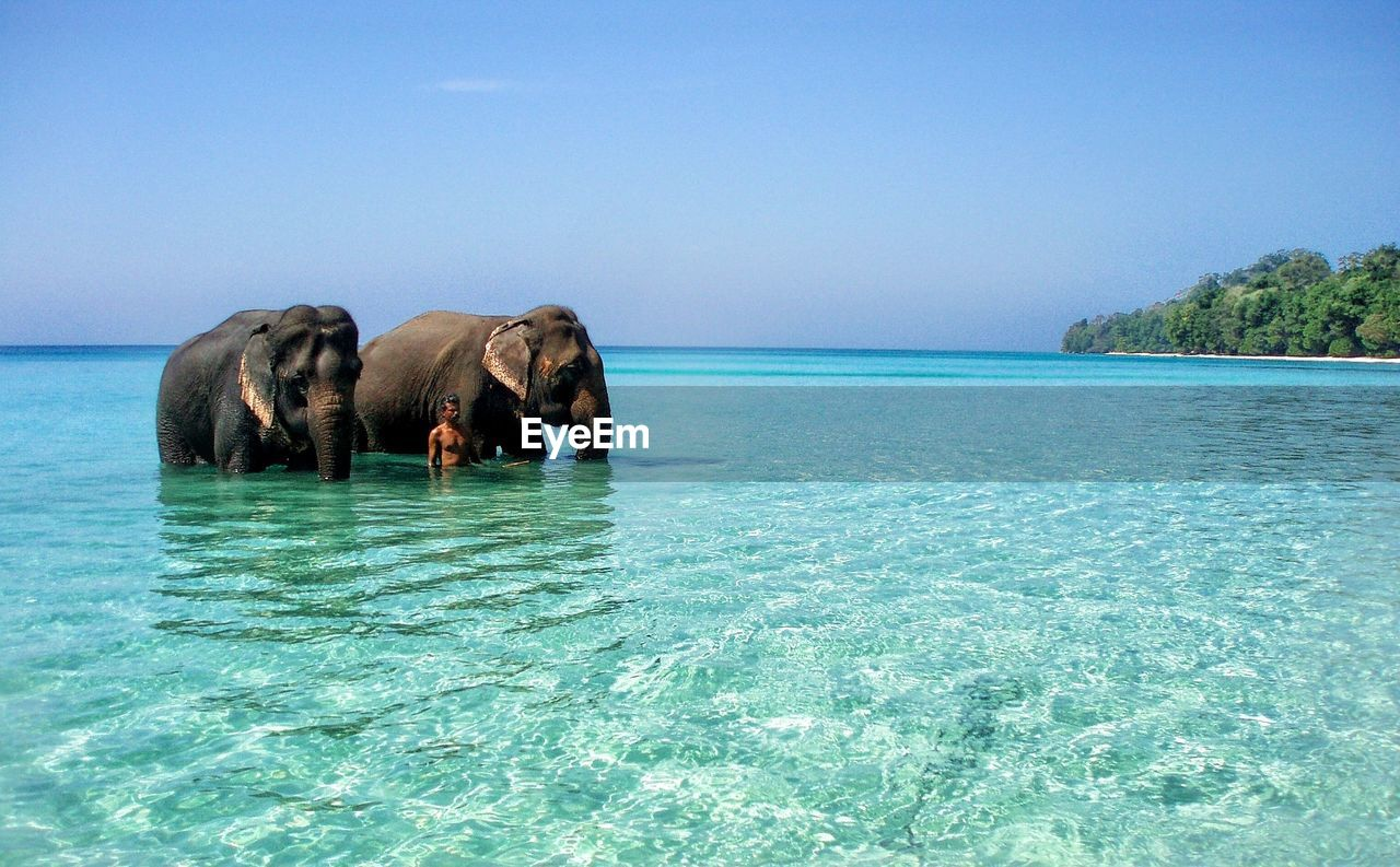 VIEW OF ELEPHANT IN SEA AGAINST CLEAR BLUE SKY