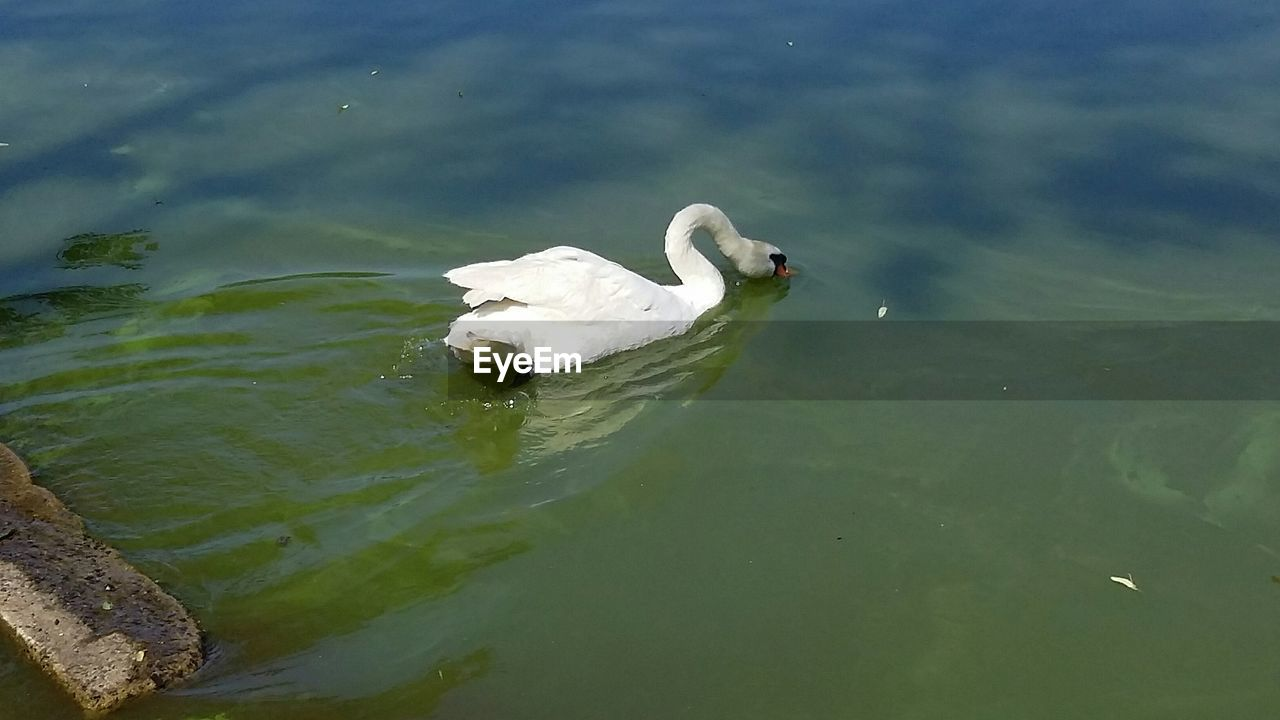animals in the wild, animal themes, lake, water, bird, swimming, nature, day, white color, animal wildlife, high angle view, waterfront, no people, swan, one animal, outdoors