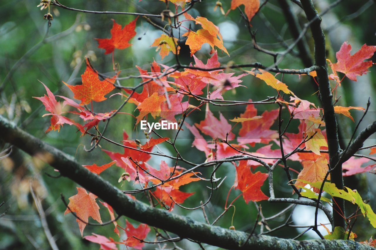 plant part, leaf, autumn, plant, growth, beauty in nature, orange color, change, tree, day, close-up, nature, no people, branch, focus on foreground, outdoors, selective focus, maple leaf, leaves, red, autumn collection, natural condition