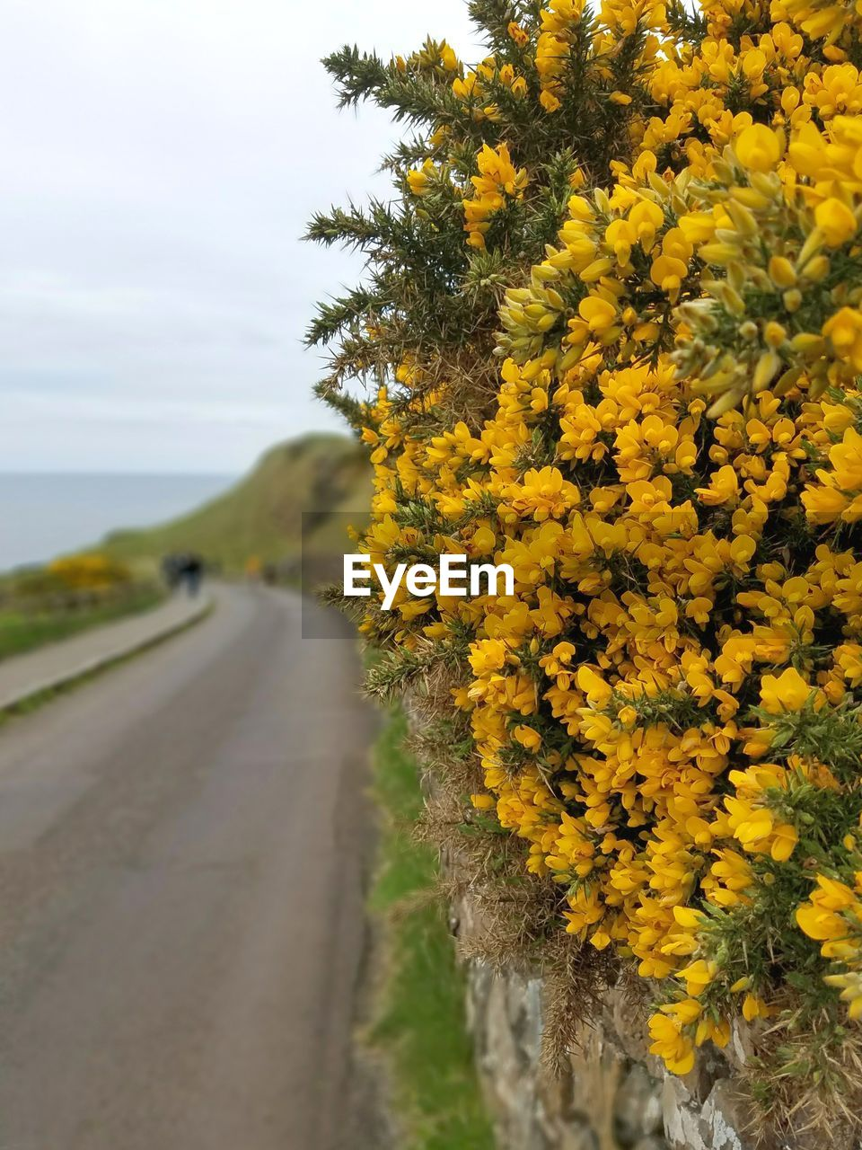 yellow, flower, nature, the way forward, growth, outdoors, day, tree, no people, road, beauty in nature, plant, freshness, rural scene, scenics, flower head, fragility, close-up, sky