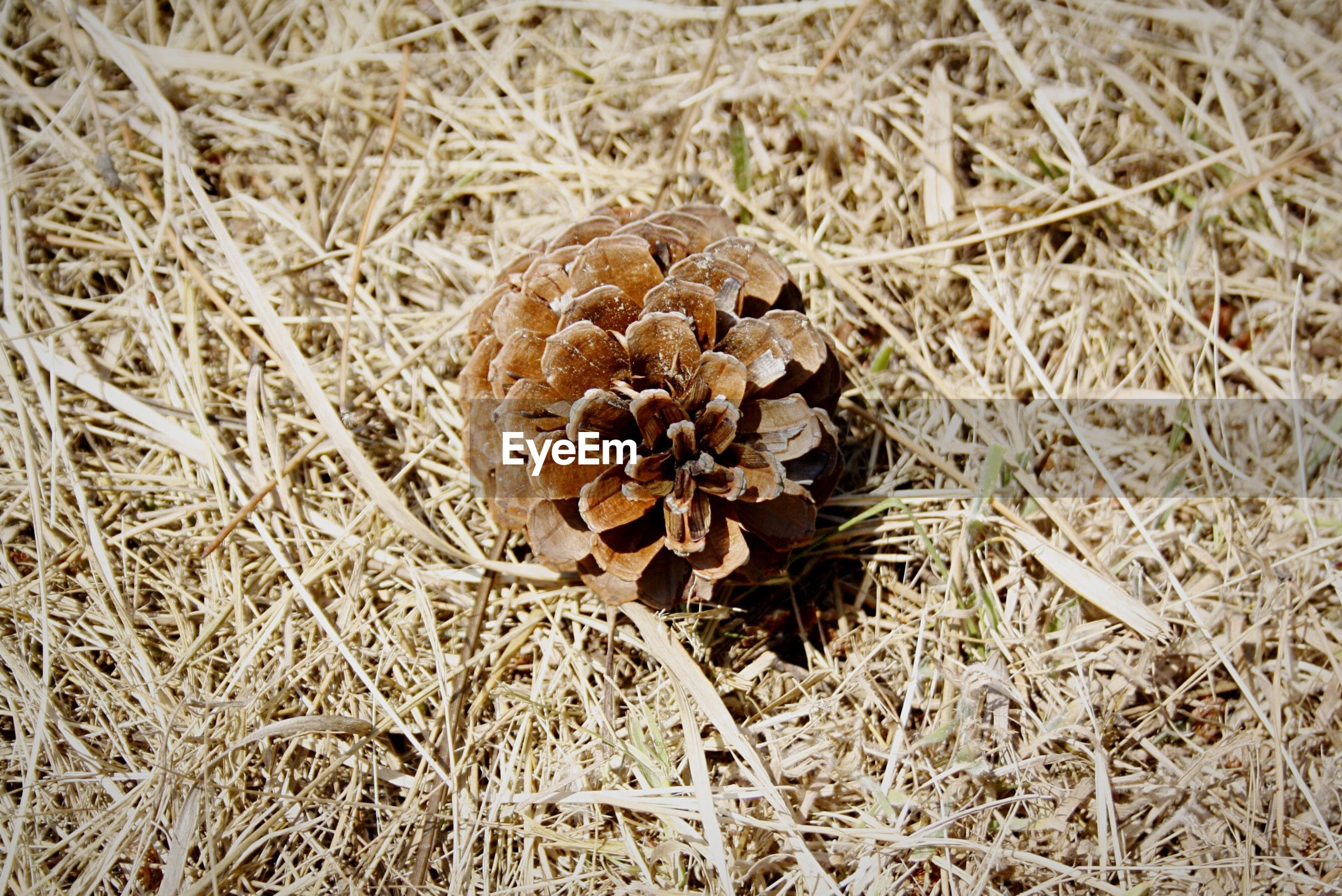 grass, field, dry, mushroom, nature, growth, fungus, close-up, high angle view, fragility, brown, plant, beauty in nature, pine cone, outdoors, day, no people, freshness, toadstool, uncultivated
