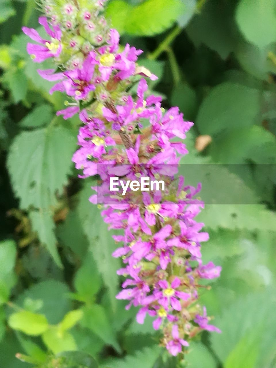flower, flowering plant, plant, beauty in nature, freshness, vulnerability, fragility, growth, pink color, petal, close-up, nature, inflorescence, flower head, day, plant part, leaf, purple, no people, botany, outdoors, lilac