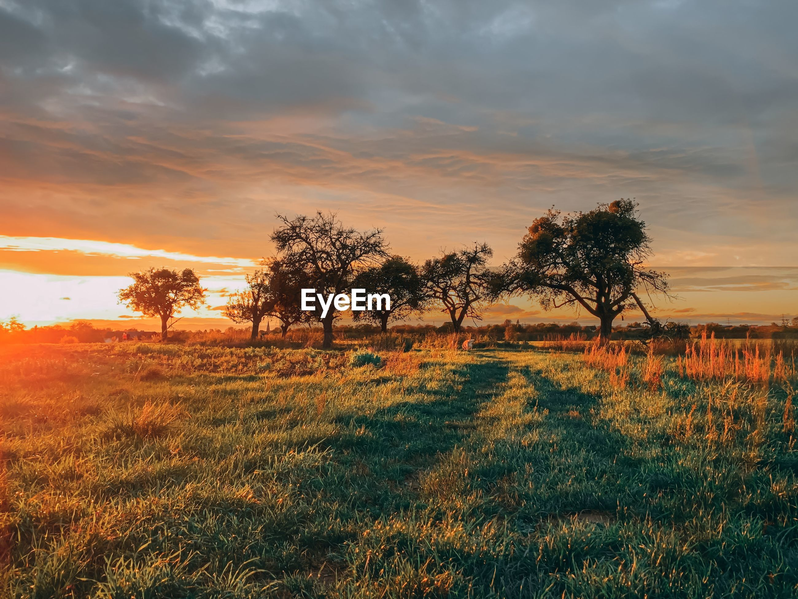Trees on field against sky during sunset