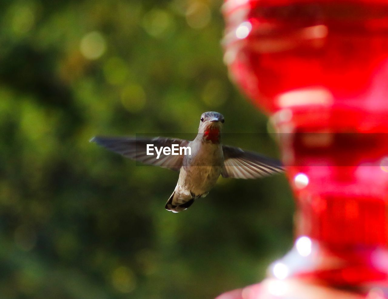 bird, animal themes, vertebrate, animal wildlife, animals in the wild, flying, animal, spread wings, one animal, hummingbird, motion, red, mid-air, blurred motion, focus on foreground, no people, day, bird feeder, full length, outdoors, flapping