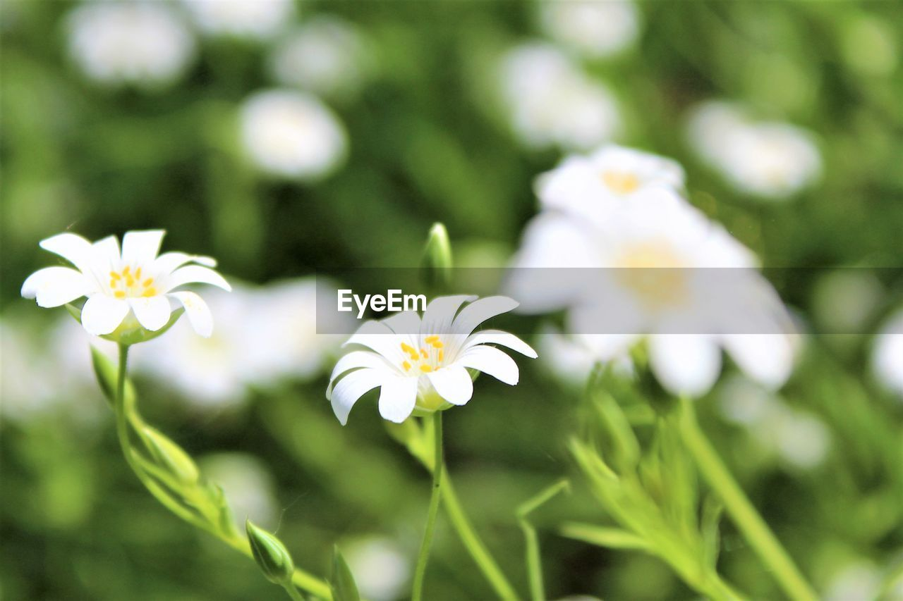 flower, beauty in nature, white color, nature, fragility, petal, freshness, growth, day, flower head, outdoors, blooming, no people, plant, close-up