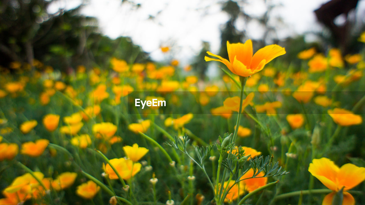flower, yellow, growth, nature, petal, beauty in nature, fragility, plant, freshness, blooming, field, flower head, outdoors, day, no people, springtime, close-up, crocus