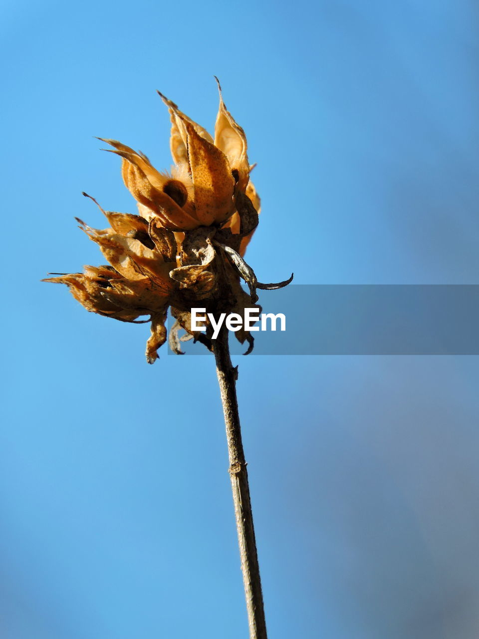 plant, nature, vulnerability, fragility, flower, sky, flowering plant, beauty in nature, dry, no people, day, close-up, blue, low angle view, clear sky, sunlight, plant stem, outdoors, growth, wilted plant, flower head, dead plant, sepal, dried