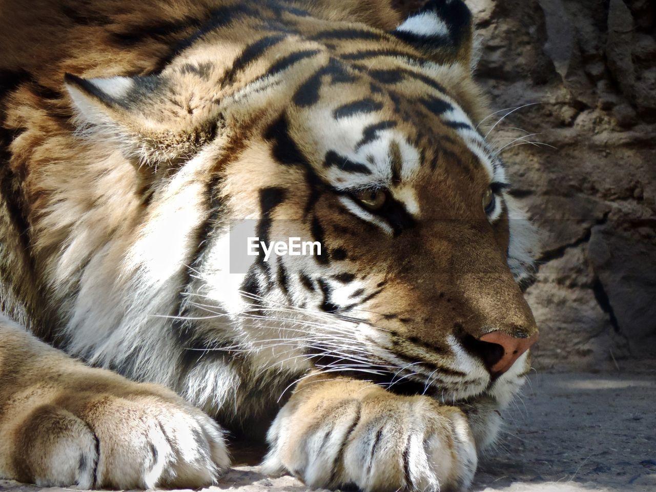 animal themes, one animal, tiger, animal, animals in the wild, animal wildlife, big cat, mammal, feline, cat, close-up, carnivora, animal body part, no people, vertebrate, endangered species, day, animal head, whisker, outdoors, zoo