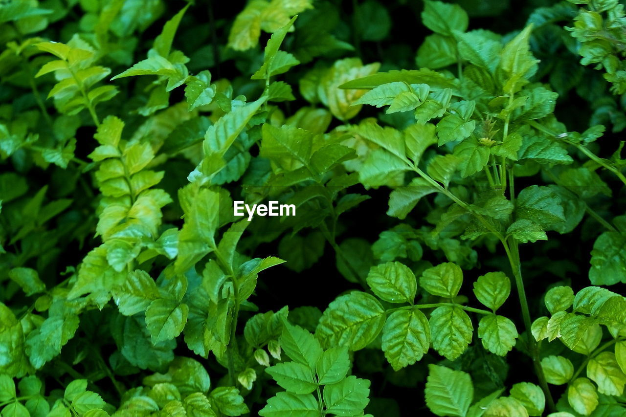 green color, growth, plant, plant part, full frame, freshness, leaf, beauty in nature, nature, close-up, backgrounds, no people, food and drink, food, day, vegetable, high angle view, outdoors, selective focus, land, herb, leaves