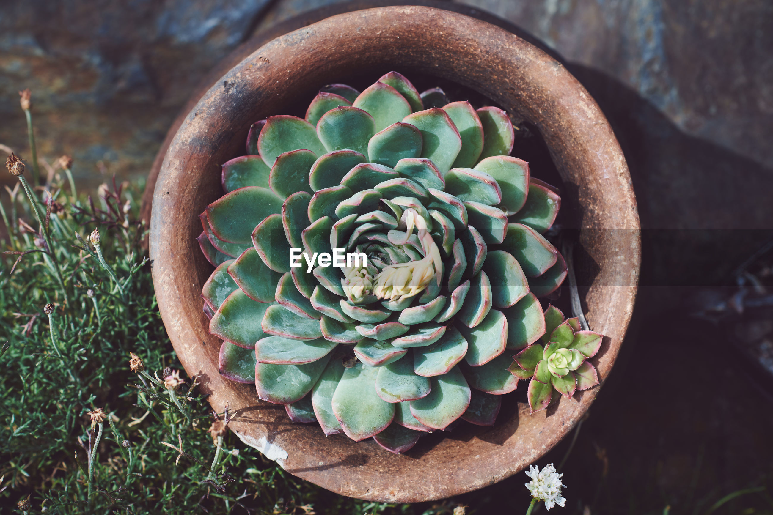 HIGH ANGLE VIEW OF SUCCULENT PLANT IN FIELD