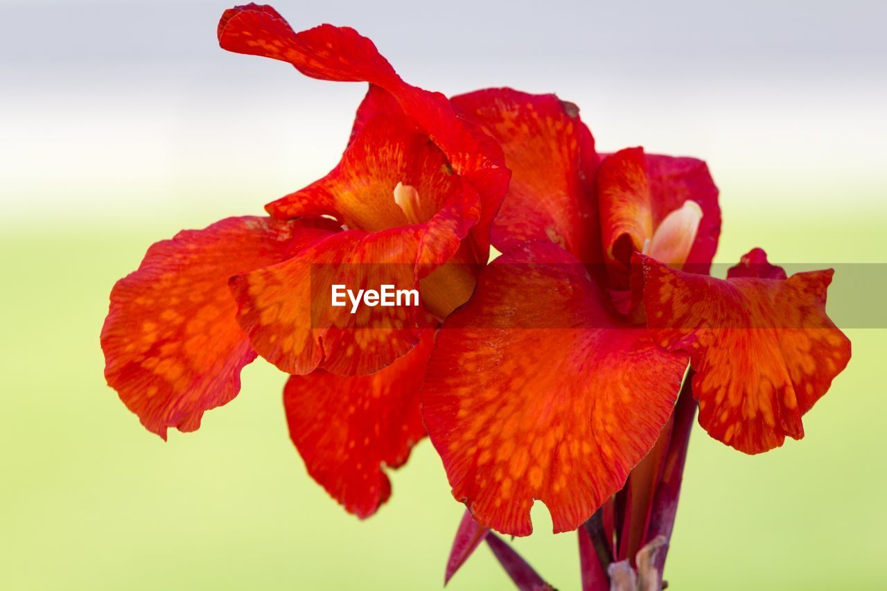 flower, petal, flower head, fragility, red, beauty in nature, nature, freshness, studio shot, close-up, no people, growth, outdoors, water, day, white background, day lily, sky
