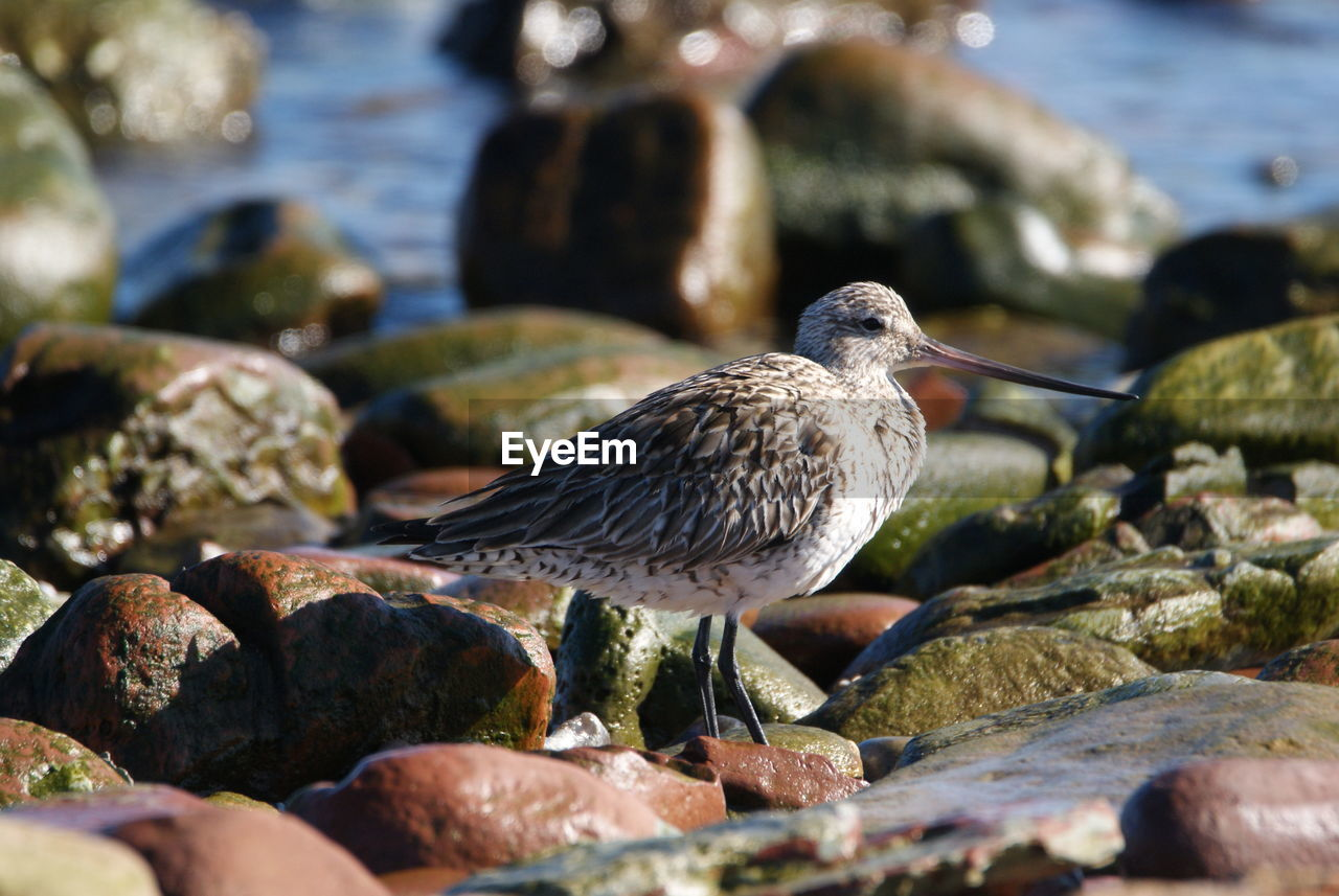animal, animal wildlife, animals in the wild, animal themes, solid, rock, water, vertebrate, bird, rock - object, day, nature, selective focus, one animal, close-up, beach, no people, sea, stone - object, outdoors, pebble, marine