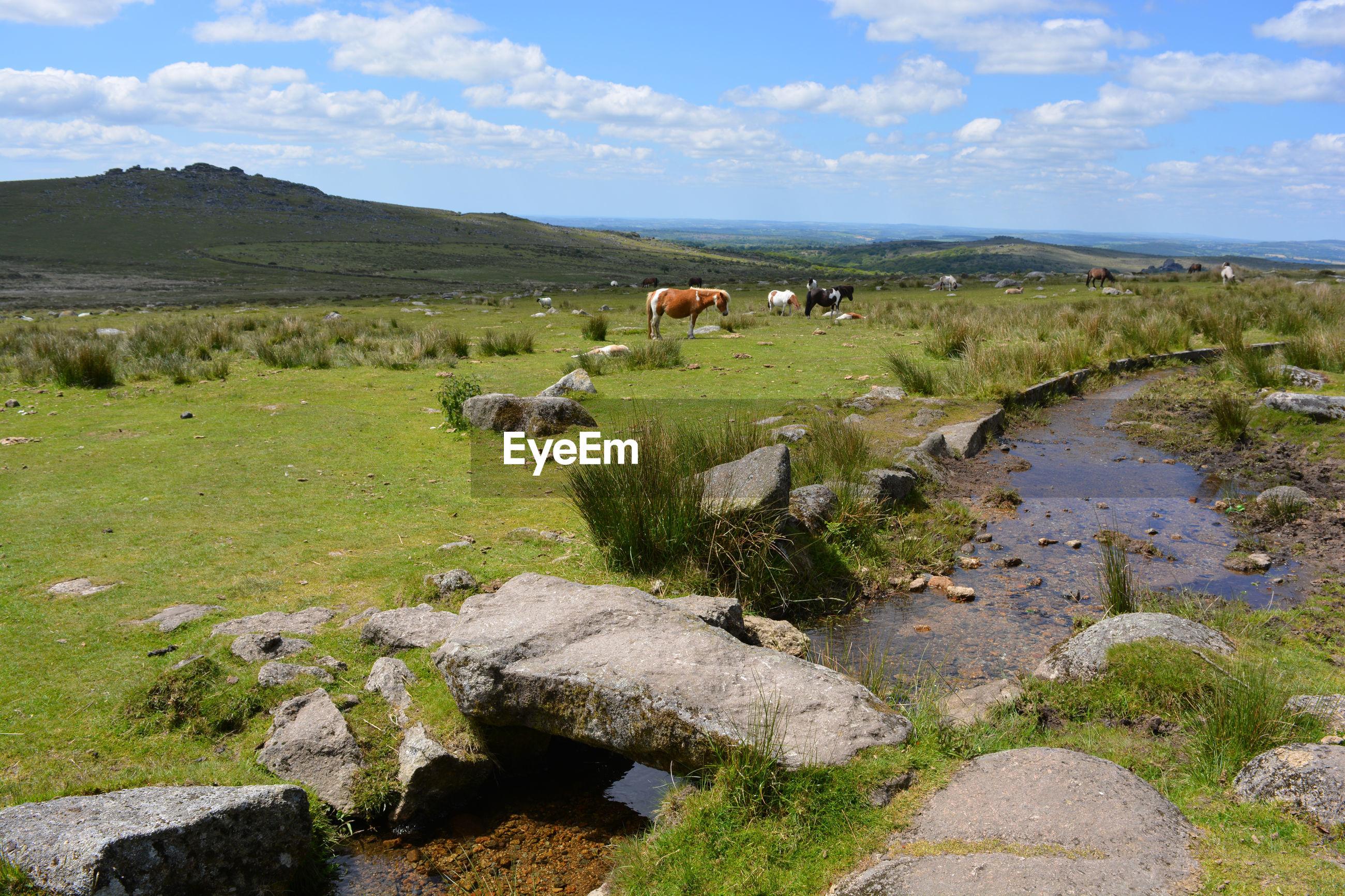 Dartmoor ponies, clapper bridge and longash leat, merrivale, dartmoor national park, devon, england