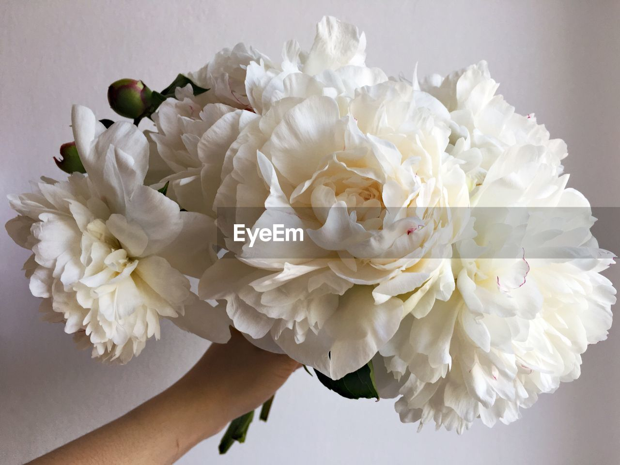 flower, petal, white color, flower head, rose - flower, beauty in nature, nature, fragility, freshness, close-up, no people, indoors, day