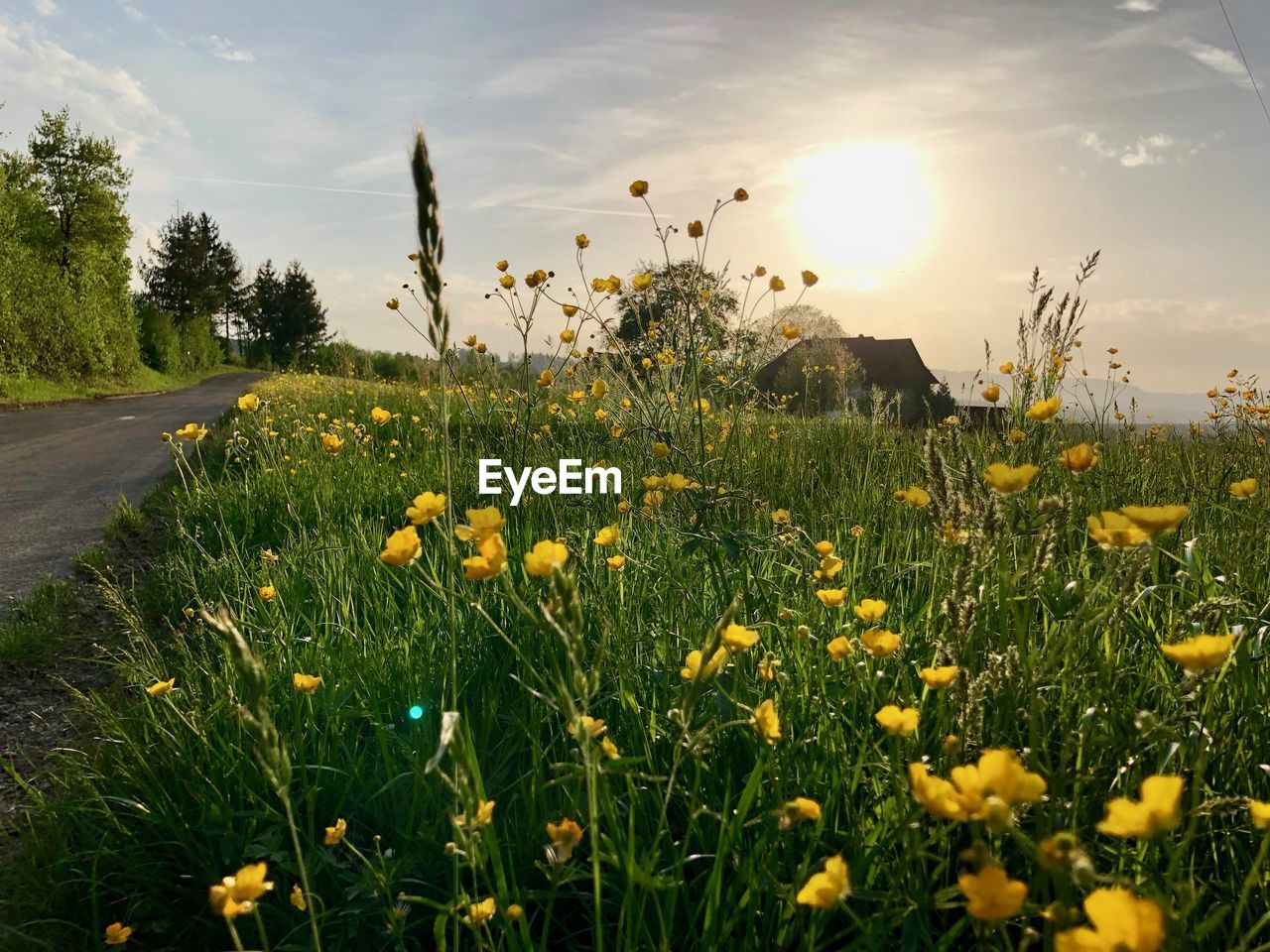 plant, flowering plant, flower, growth, beauty in nature, sky, yellow, field, fragility, land, freshness, nature, vulnerability, no people, grass, cloud - sky, tranquility, flower head, sunlight, sun, outdoors