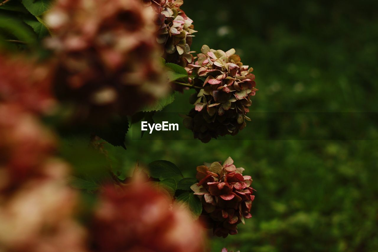 plant, flower, beauty in nature, flowering plant, growth, selective focus, vulnerability, fragility, nature, freshness, close-up, day, petal, outdoors, no people, inflorescence, plant part, leaf, flower head, green color