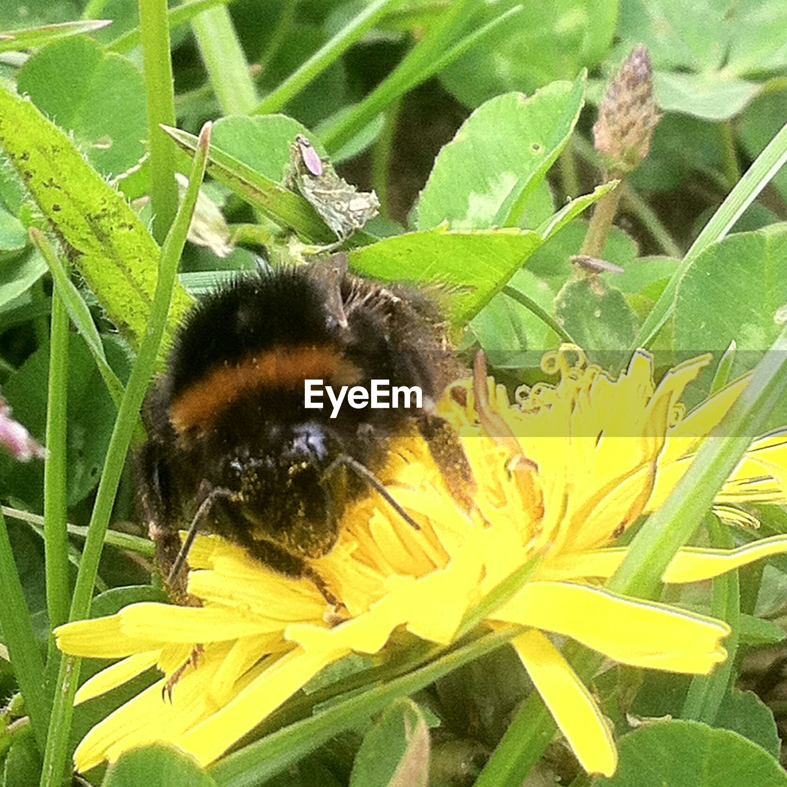 Close-up of bumblebee feeding on yellow flower