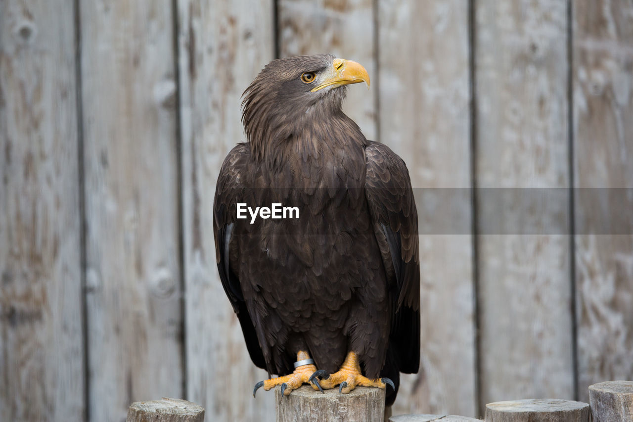 bird, vertebrate, animal, animal themes, one animal, animal wildlife, animals in the wild, bird of prey, eagle, wood - material, focus on foreground, no people, day, eagle - bird, perching, beak, close-up, looking, outdoors, bald eagle, wooden post