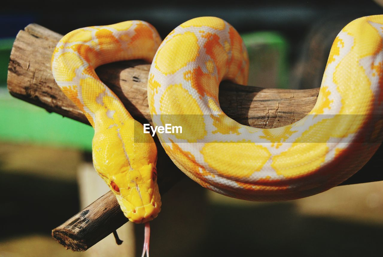 close-up, focus on foreground, yellow, animal, animal wildlife, animal themes, day, animals in the wild, vertebrate, no people, one animal, snake, orange color, outdoors, selective focus, reptile, holding, food, food and drink, animal body part