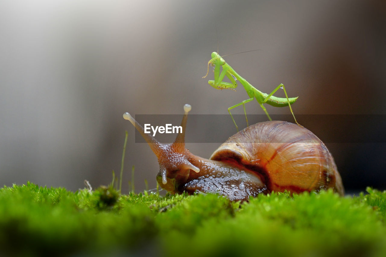 animal wildlife, mollusk, invertebrate, gastropod, animal themes, animals in the wild, animal, snail, selective focus, close-up, one animal, animal antenna, shell, plant, green color, no people, animal body part, animal shell, insect, day, outdoors, surface level