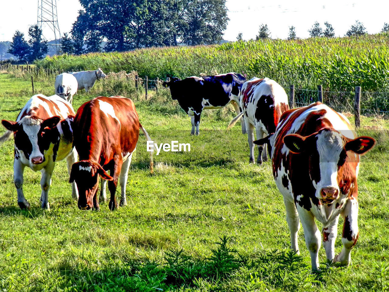 grass, domestic animals, animal themes, cow, field, livestock, cattle, mammal, nature, day, outdoors, farm animal, landscape, grazing, tree, no people, togetherness, sky