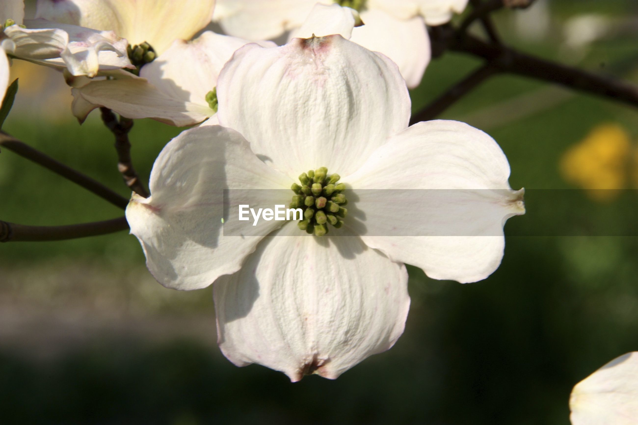 Close-up of white flower blooming on sunny day