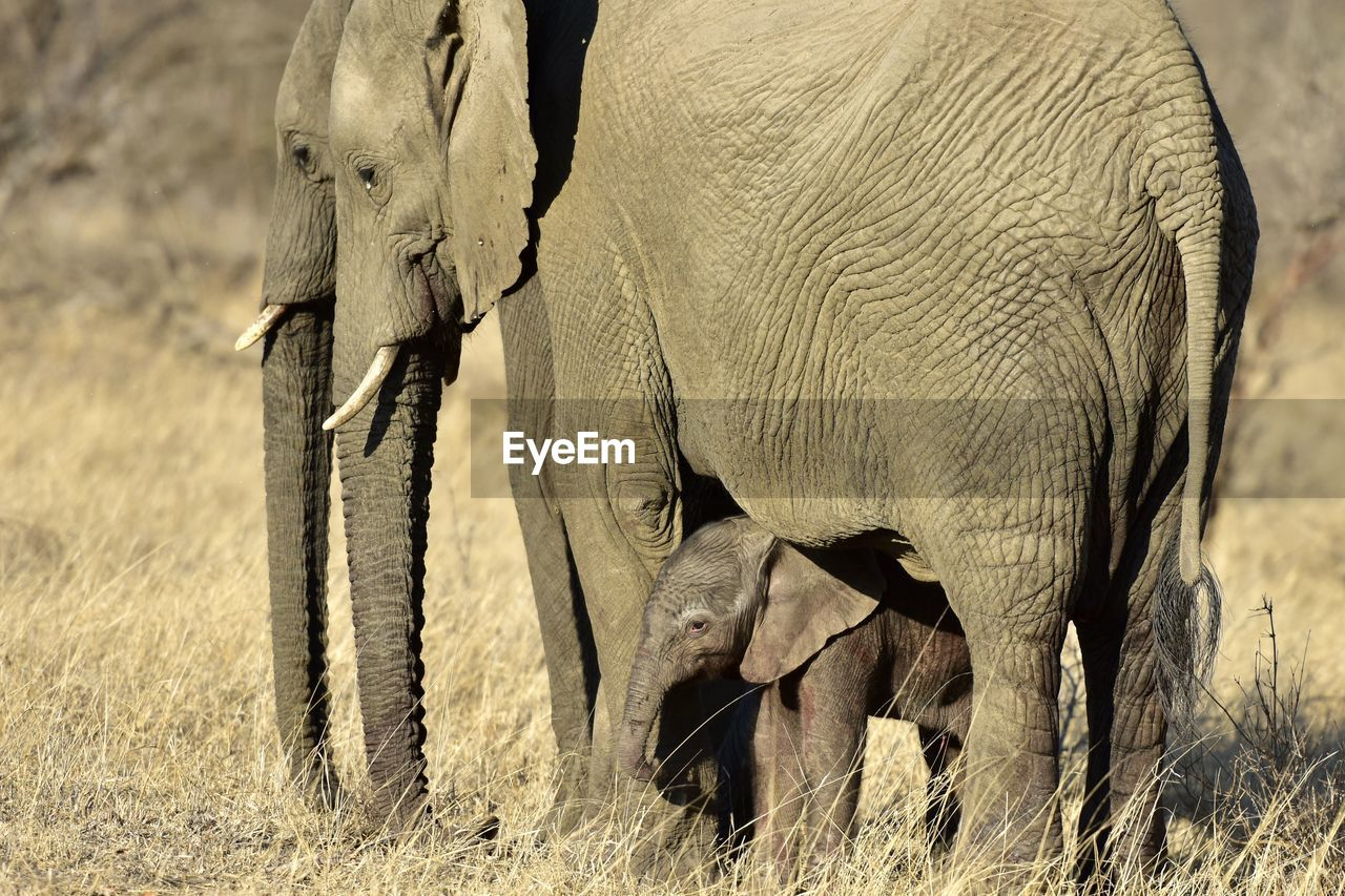 Close-up of elephant and calf on land