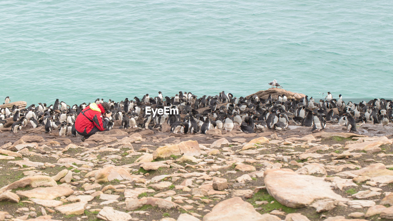 High angle view of male photographer photographing penguins at beach