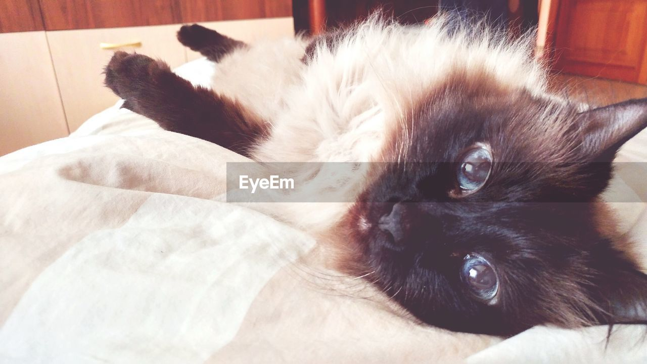 pets, domestic animals, one animal, animal themes, domestic cat, mammal, indoors, feline, lying down, relaxation, portrait, looking at camera, whisker, home interior, no people, close-up, day