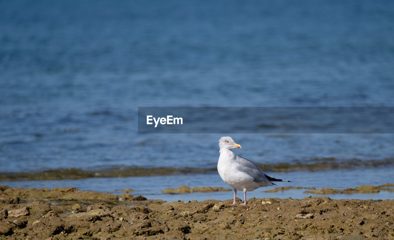 animal themes, animal, bird, animal wildlife, vertebrate, one animal, animals in the wild, water, beach, land, sea, seagull, day, focus on foreground, no people, perching, nature, sand, sea bird, outdoors